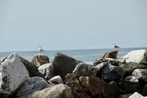 Seagulls. Like back home, they perch. April 2015. - Riomaggiore, Italy